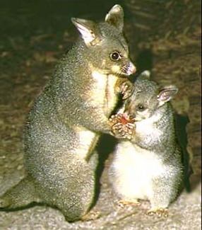 Tasty Possum
